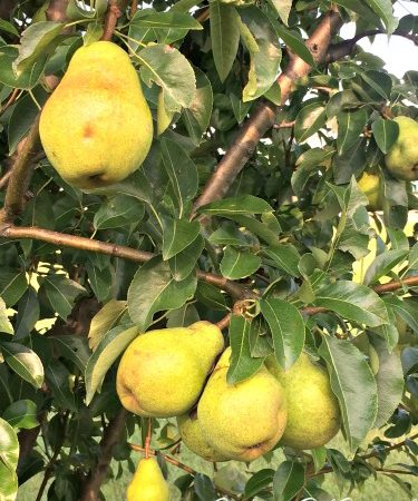 How To Know Your Pears Are Ready To Pick! (Video)